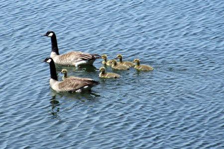 geese2014_IMG_3411x.jpg
