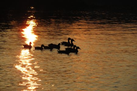 ducks_watersun_IMG_1652.jpg